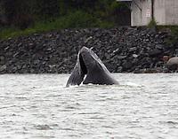 Humpback Whale AK