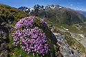 Moss Campion (Silene acaulis) photographed with a fisheye lens to show mountain environment. Nordtirol, Austrian Alps, June.