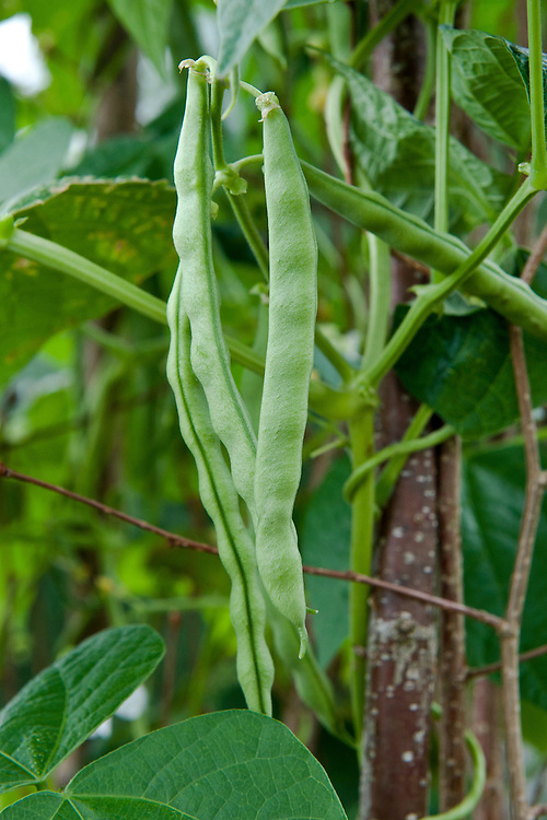 """Climbing French bean 'Extra Hatif de Juliet', early August. """"Originally purchased from a French market stall in the early 1950s...Once established, the bean is fast-growing and vigorous, producing pods until the first frosts. Completely stringless, even when fully mature and with excellent flavour."""" (Heritage Seed Library)"""