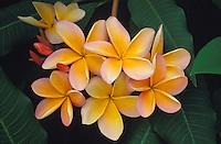 Nanakuli Sunset plumeria, or frangipani (apocynacae) flowers