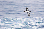 Pink-footed Shearwater (Puffinus creatopus) flying over ocean, Monterey Bay, California