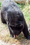 American black bear facing camera full body view, vertical.
