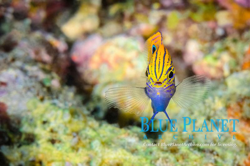 Princess damsel, Pomacentrus vaiuli, Anilao, Batangas, Philippines, Pacific Ocean