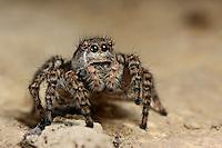 Springspinne, Weibchen, Asianellus festivus, Phlegra festiva, Jumping spider, female, Springspinnen, Salticidae, Jumping spiders