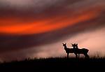 Elk Silhouette, National Bison Range, Montana