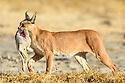 Adult caracal (Caracal caracal)(formerly Felis caracal or Lynx caracal) with Cape hare. Ngorongoro Crater, Ngorongoro Conservation Area (NCA), Tanzania.