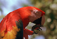 A profile portrait of a Macaw parrot eating a nut.