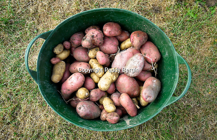 """Harvested potatoes. The potato is a starchy, tuberous crop from the perennial nightshade Solanum tuberosum. The word """"potato"""" may refer either to the plant itself or to the edible tuber. In the Andes, where the species is indigenous, some other closely related species are cultivated. Potatoes were introduced to Europe in the second half of the 16th century by the Spanish.<br /> <br /> Potato has become a staple food in many parts of the world and an integral part of much of the world's food supply. It is the world's fourth-largest food crop, following maize, wheat, and rice. The green leaves and green skins of tubers exposed to the light are toxic.<br /> <br /> Stock Photo by Paddy Bergin"""