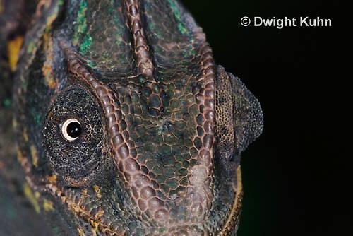 CH51-718z Female Veiled Chameleon, note eye rotation, Chamaeleo calyptratus