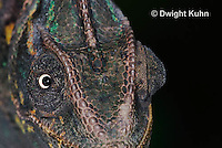 CH51-718z Female Veiled Chameleon, note eye rotation, Chamaeleo calyptratus