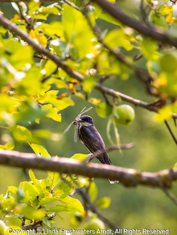 Eastern kingbird with food for its young.