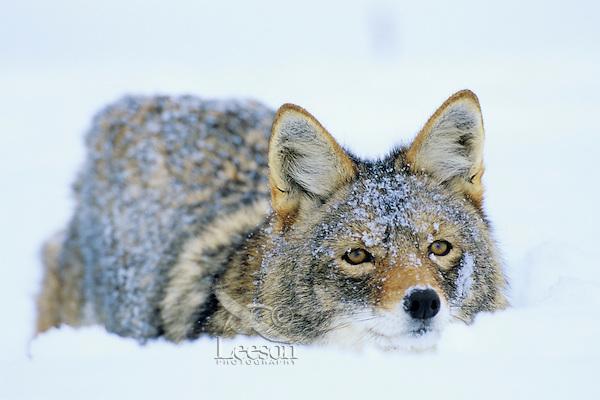 Coyote (Canis latrans) in deep snow.  Western U.S., winter.
