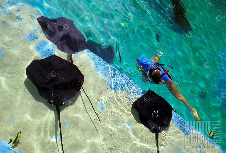 A snorkeler swims with brown stingrays at Sea Life Park aquarium; Makapuu, Windward Oahu