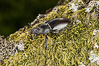 Hirschkäfer, Weibchen, Hornschröter, Hirsch-Käfer, Lucanus cervus, Stag beetle, female, Schröter, Lucanidae, Stag beetles