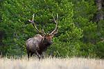Rocky Mountain Elk Bull