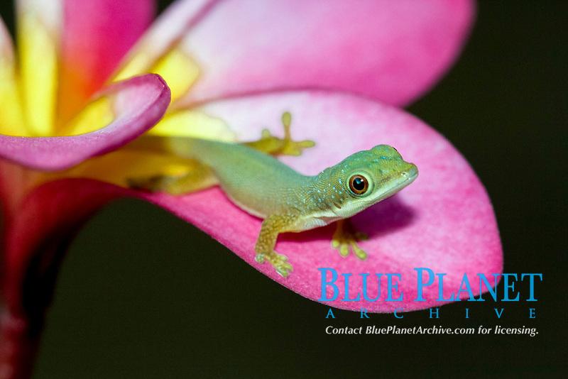 Day Gecko (Phelsuma sp.), young, on plumeria flower petal, Ramena, northern Madagascar, Madagascar, Africa