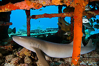 nurse shark, Ginglymostoma cirratum, resting in Sugar Wreck, the remains of an old sailing ship that grounded many years ago, West End, Grand Bahama, Bahamas, Caribbean, Atlantic Ocean