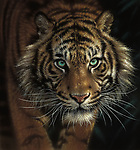 """NOTE FOR ONLINE:  MAXIMUM OF 10 IMAGES TO RUN ALONGSIDE THIS STORY - UNLESS OTHERWISE AGREED WITH A REVISED FEE IN PLACE.<br /> <br /> Pictured:  One of Collin Bogle's realistic paintings: Eye of the Tiger<br /> <br /> These intricately detailed pictures of wild animals look like photographs - but are in fact paintings.  American artist Collin Bogle's extraordinary work portrays close up encounters with animals such as lions, snow leopards, wolves, eagles and bears.<br /> <br /> He uses photos of the animals as a reference and spends between two weeks and two months painstakingly creating each piece.  Mr Bogle, who works out of his home in Seattle, Washington, in the United States, said: """"My dad is an artist and was also a high school art teacher - so I started learning to paint as soon as I could hold a brush.  SEE OUR COPY FOR DETAILS.<br /> <br /> Please byline: Collin Bogle/Solent News<br /> <br /> © Collin Bogle/Solent News & Photo Agency<br /> UK +44 (0) 2380 458800"""