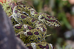 Adult Eyelash Pit Viper or  Eyelash Viper (Bothriechis schlegelii) (Viperidae: Crotalinae). Distictive camouflaged form that mimics moss and lichen. Arboreal species resting in mid-altitude rainforest under storey. Caribbean slope, Costa Rica, Central America. (highly venomous).