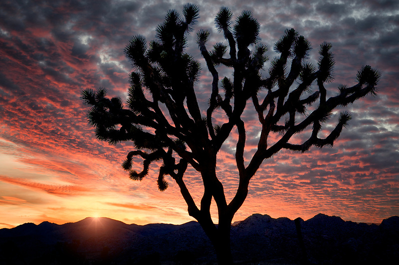 Silhoutted Joshua trees and sunrise in Joshua Tree National Park. California