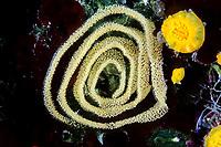 nudibranch eggs, Vela Luka, Korcula island, Croatia, Adriatic Sea, Mediterranean