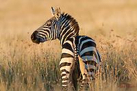 Common (Plains) Zebra (Equus burchellii) at sunrise, Lewa