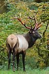 Roosevelt Bull Elk in Rain Forest
