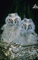 Waldohreule, Jungvögel, Küken im Nest, Waldohr-Eule, Asio otus, long-eared owl