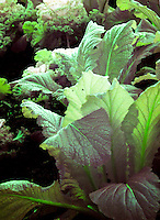 Winter Ornamental vegetables, full spectrum