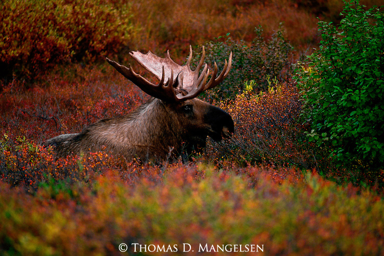 A bull moose rests in the colorful brush of the autumn tundra in Denali National Park, Alaska.