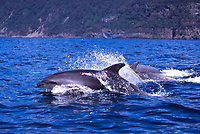 Bottlenose dolphins, Tursiops truncatus, in Tasmania Australia