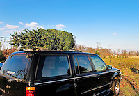 Fresh cut Christmas tree tied to a car.