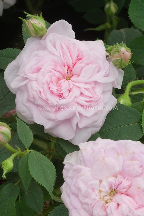 Rose Rosa 'Queen of Denmark' = 'Konigin von Danemark' (19th C) AGM (Alba Rose), old roses, pink