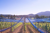 Vineyard near Duncan in Cowichan Valley, Vancouver Island, BC, British Columbia, Canada - Grape Vines covered with Netting for Protection against Birds
