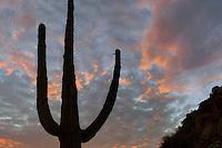 Saguaro cactus and sunset clouds. Sonoran Desert, Arizona