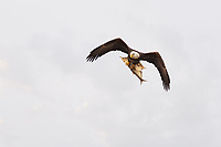 Bald Eagle in flight toward camera with large fish in talons
