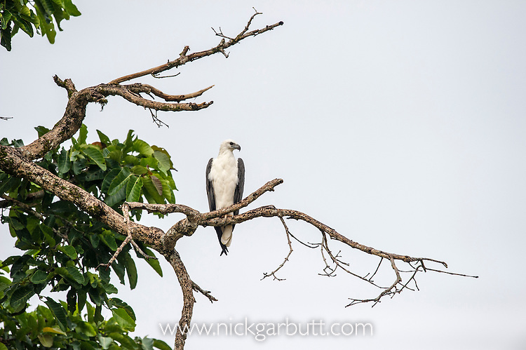 White-bellied Fish Eagle (Haliaeetus leucogaster) hunting from branch overhanging the river. Kinabatangan River, Sabah, Borneo. September.