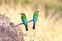 Rainbow BeeEater, Katherine, NT, Australia