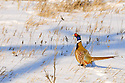00890-038.03 Ring-necked Pheasant is walking in snow covered habitat during winter.  Hunt, survive, farm, CRP, cold, habitat.