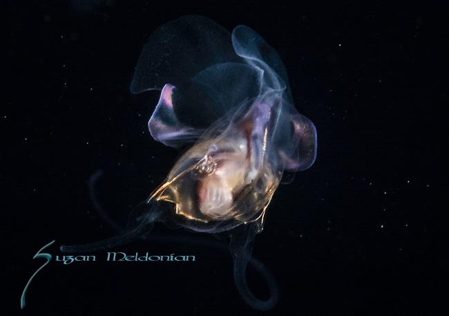 Pteropod, Cavolinia tridentata 11-16-17-4323