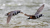 I felt fortunate to see Harlequin Ducks, not only at LeHardy Rapids, but also at a couple spots on Soda Butte Creek (including our property).