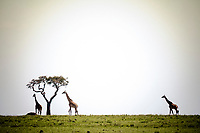 Masai giraffe, Giraffa camelopardalis tippelskirchii, Masai Mara, Kenya, Africa
