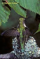HU10-052x  Ruby-throated Hummingbird - female feeding nectar to baby birds in nest  -  Archilochus colubris