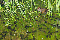 Female Yosemite toad, Bufo canorus, resting in shallow water in a high elevation meadow in California's Sierra Nevada mountains. Also in the water are tadpoles of the same species. Once widespread in the high Sierra, since the 1980s Yosemite toads have disappeared or severely declined in over 50% of their former range, and now survive only in a handful of wet meadows. The toad is listed as a Species of Special Concern under the Federal Endangered Species Act as well as by the State of California, and is listed as Endangered by the IUCN.