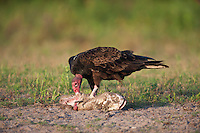 Turkey Vulture (Cathartes aura),adult eating catfish, Dinero, Lake Corpus Christi, South Texas, USA