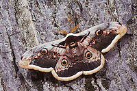 Giant Peacock Moth, Saturnia pyri, adult on bark, Europe's largest moth, National Park Lake Neusiedl, Burgenland, Austria, Europe