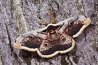 Giant Peacock Moth, Saturnia pyri, adult on bark, Europe's largest moth, National Park Lake Neusiedl, Burgenland, Austria, Europe