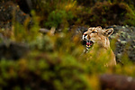Mountain Lion (Puma concolor) female yawning, Torres del Paine National Park, Patagonia, Chile