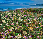 Angelica, Angelica californica, Asters, Erigeron glaucus, Mattole Beach, King Range National Conservation Area, The Lost Coast, Humboldt Co, California