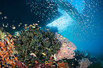 Misool, Raja Ampat, Indonesia; Wayilbatan area, an aggregation of Three-spot Dascyllus, Threadfin Anthias, Ternate Chromis and Regal Demoiselle fish swimming around a colony of Black Sun Corals and pink sea fans with a school of silver bait fish above and a small boat in silhouette